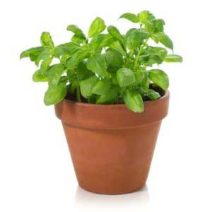 How to grow basil at home - Bagbani