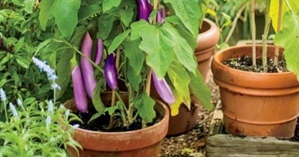 Brinjal Vegetable Balcony Garden | Bagbani | Gardening Blogs
